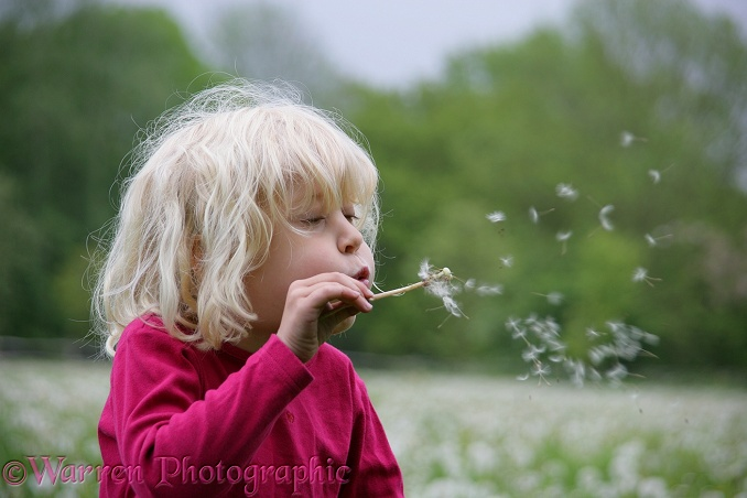 Siena blowing Dandelion (Taraxacum officinale) seeds