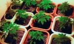 cannabis41714