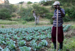 A farmer in Haiti explains his harvesting process as he stands in front of a large cabbage plot, holding a garden hoe. Small farmers from the Papaye Peasant Movement (MPP) are resisting the intrusion of multinational agriculture corporations like Monsanto into their food supply. (Flickr / Unitarian Universalist Service Committee)