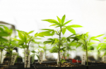 Juvenile marijuana plants cloned from more mature plants start to grow in the nursery at RiverRock Organic Cannabis in Denver, Co. (Marc Piscotty/The Washington Post)
