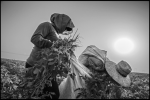 ARVIN, CA – Two farm workers pull weeds in a field of organic potatoes. By mid-afternoon the temperature is over 100 degrees. Workers wear layers of clothes as insulation against the heat.