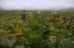 Farm workers pick squash blossoms in the early morning fog on a farm in Rancho Santa Fe, California, United States August 31, 2016. REUTERS/Mike Blake