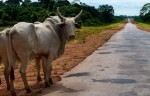 Cattle farming and roads are major causes of deforestation in Brazil's Amazon region. Image: Kate Evans/CIFOR via Flickr