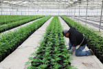 An installer puts in a drip irrigation line at Harborside Farms, a large marijuana grower, in Salinas, California, March 24, 2017. (Photo: Jim Wilson / The New York Times)