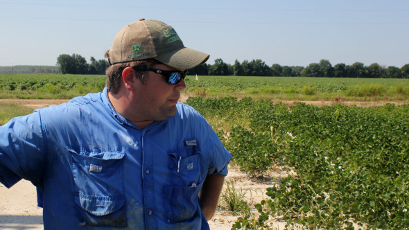 East Arkansas soybean farmer Reed Storey looks at his field in Marvell, Ark. Storey said half of his soybean crop has shown damage from dicamba, an herbicide that has drifted onto unprotected fields and spawned hundreds of complaints from farmers. (AP/Andrew DeMillo)